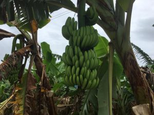 Banana plantation in Beng District, Oudomxay